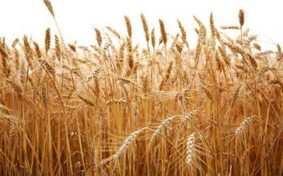 Recorde na produção de trigo no Estado de São Paulo