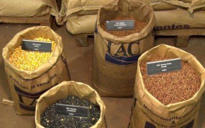 Produção de sementes selecionadas